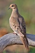 200px-Mourning_Dove_2006