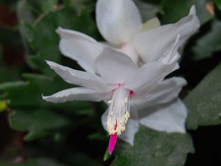 Christmas-cactus-flowersmall1